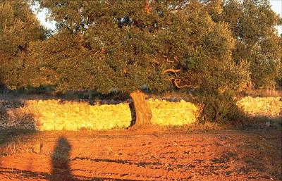 Postkarte Olivenbaum